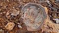 Fossil, Hatira Gulch, Negev, Israel מאובן, נחל חתירה, הנגב - panoramio.jpg