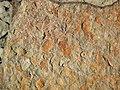Fossiliferous sandstone (Vinton Member, Logan Formation, Lower Mississippian; Route 16 roadcut northeast of Frazeysburg, Ohio, USA) 4 (40643398131).jpg
