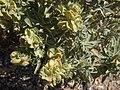 Fourwing saltbush, Atriplex canescens (16042516109).jpg