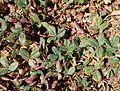 Fragaria chiloensis kz1.jpg