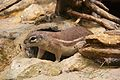 Frankfurt Zoo - Cape Ground Squirrel.jpg