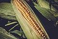 Fresh Sweet Corn.jpg
