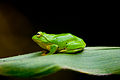 Frog on corn leaf.jpg