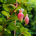 Fuchsia 'Charelke Dop' 04.jpg