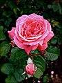 Full Bloom - panoramio.jpg