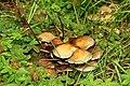 Fungus, Drumkeeragh forest (2) - geograph.org.uk - 896703.jpg