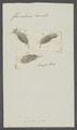 Furcularia aurita - - Print - Iconographia Zoologica - Special Collections University of Amsterdam - UBAINV0274 101 04 0021.tif