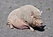 Göttinger Minischwein qtl1.jpg