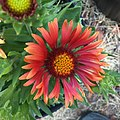 Gaillardia-arizona-red-shades-3715.jpg