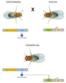 GAL4/UAS system - Wikipedia