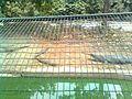 Gangetic Aligators with in-vivo breeded offsprings (गंगा नदी के घडियाल नवजात शिशुओं के साथ in hindi) in Lucknow Zoological Park.jpg
