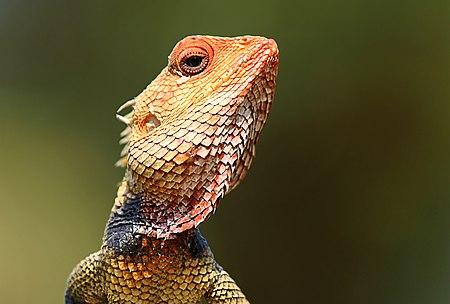 Wikipedia:Featured Picture Candidates/Oriental Garden Lizard