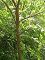 Garden of the Gods - Winged Elm, Wahoo (Ulmus alata) - Flickr - Jay Sturner (1).jpg
