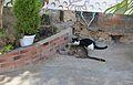 Gats menjant per la plaça de mossén Sorell del Carme.JPG