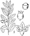 Geocaulon lividum BB-1913.png