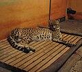 Gepard lies.jpg