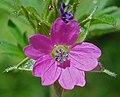 Geranium dissectum W.jpg