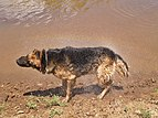German-Shepherd-dog-rainbow-shake.jpg