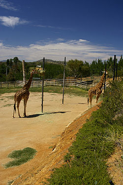 Giraffes at the National Zoo & Aquarium.jpg