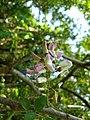 Gliricidia sepium, Spotted Gliricidia, Cheema konna, Seema konna. Flower 3.jpg