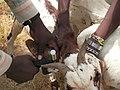 Goat ear tagging.jpg