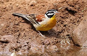 Golden-breasted bunting, Emberiza flaviventris, at uMkhuze Game Reserve, kwaZulu-Natal, South Africa (15293093607).jpg