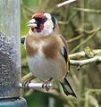 Goldfinch. Carduelis carduelis - Flickr - gailhampshire (1).jpg