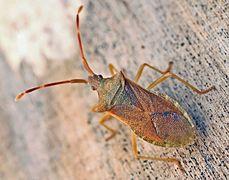 Gonocerus acuteangularis01.jpg