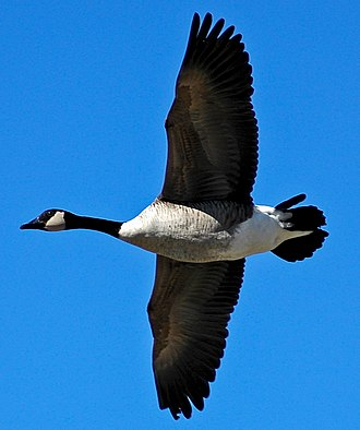New riddle of induction - Image: Goose flying