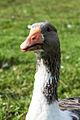 Goose (15167250561).jpg