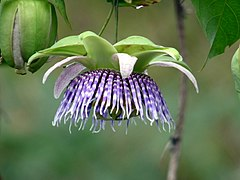 240px granadilla (passiflora ligularis) (15580730076)