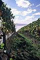Granton Vineyard among the grapevines.jpg