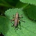 Grasshopper (35300056594).jpg