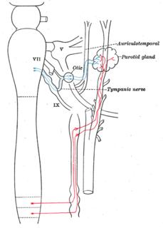 Auriculotemporal nerve branch of the mandibular nerve