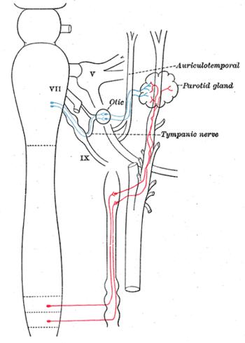図6:耳及び上顎神経節への交感神経の接続