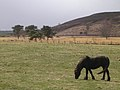 Grazing Horse near Greengill and Wan Fell - geograph.org.uk - 153835.jpg