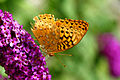 Great Spangled Fritillary (2).jpg