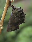 Great eggfly pupa.jpg