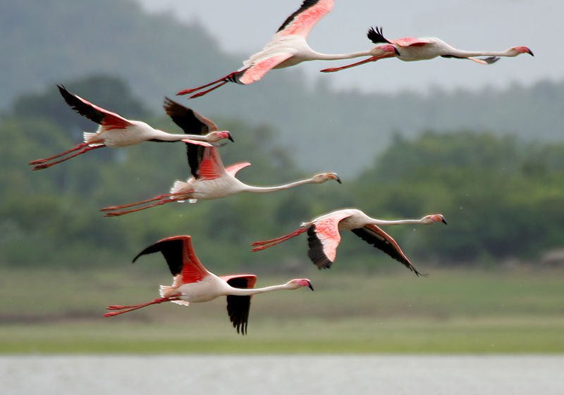 File:Greater Flamingoes (Phoenicopterus roseus) after taking off W  IMG 9857.jpg