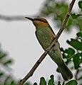 Green Bee-eater (Merops orientalis)- Immature at Narendrapur Im IMG 7635.jpg