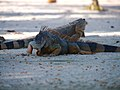 Green iguanas (6980043622).jpg