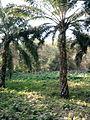 Greenary of Keral.jpg