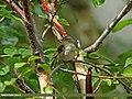 Greenish Warbler (Phylloscopus trochiloides) (20353216660).jpg