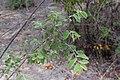 Grewia flava-2386 - Flickr - Ragnhild & Neil Crawford.jpg