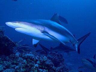 Grey reef shark Species of shark