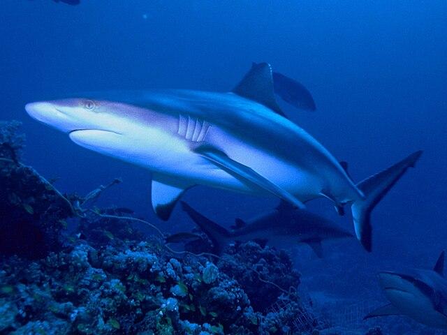 Grey reef shark vs bull shark - photo#22