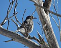 Grey Currawong Mt Hotham Victoria Australia.jpg