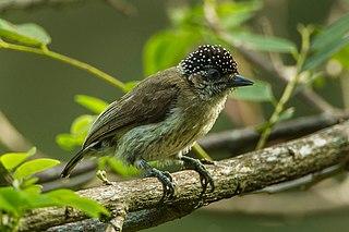 Greyish piculet Species of bird