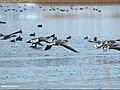 Greylag Goose (Anser anser) (23261657333).jpg