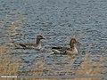 Greylag Goose (Anser anser) (34228032903).jpg